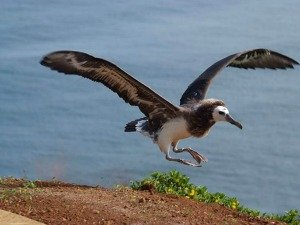 Albatross Fledging