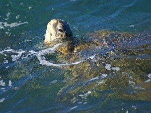 Honu Sea Turtle
