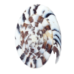 Seashell 9