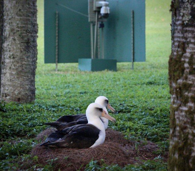 Bird Watching on Kauai – Watch the Laysan Albatross Live on Bird Cam!