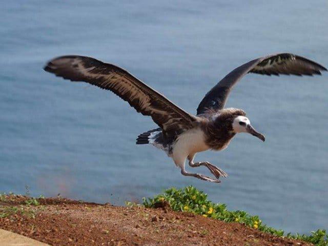 Albatross Fledging on Kaweonui Road - Kauai