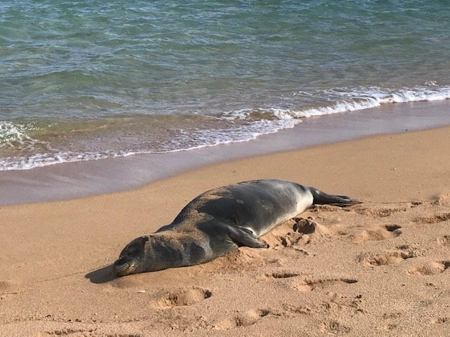 Hawaiian Monk Seal – Another Kauai Treasure – Hawaii