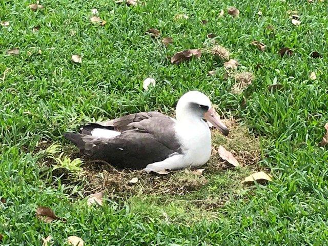 Laysan Albatross - Kauai