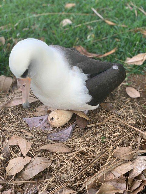 Pela -Laysan Albatross - Kauai