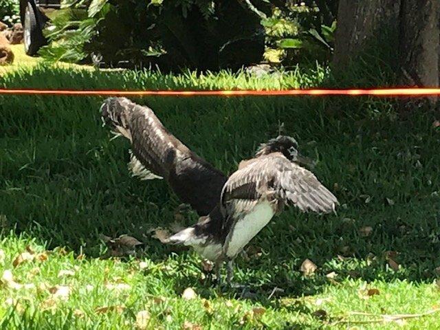 Albatross Chick, June 2019