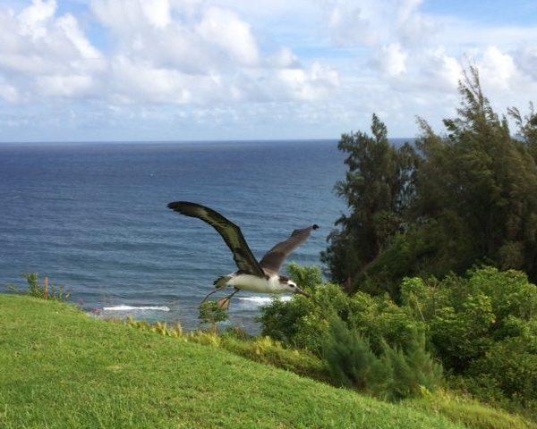 """Pela, """"My"""" Laysan Albatross Fledges! – Kauai – Hawaii"""