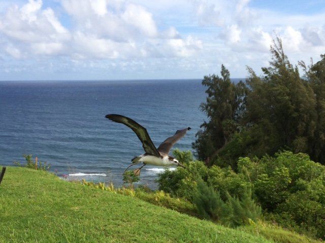 "Pela, ""My"" Laysan Albatross Fledges! – Kauai – Hawaii"
