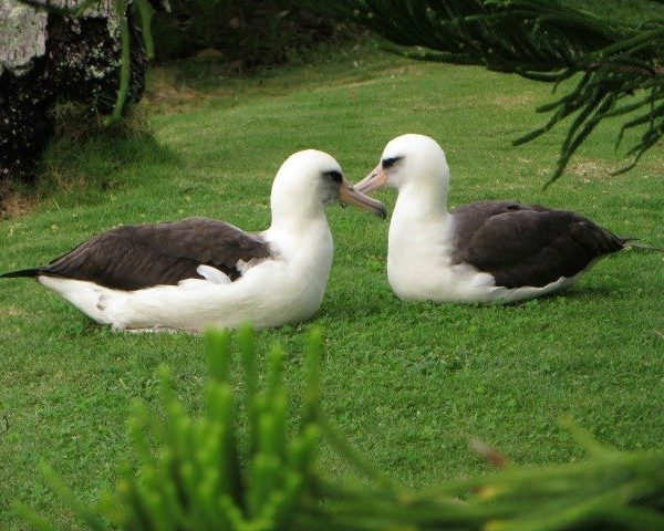 Albatross Courting Dance – Love is in the Air in Princeville – Hawaii