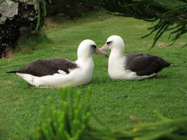 Albatross Courting Dance